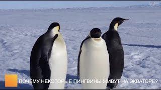 Почему некоторые пингвины живут на экваторе?