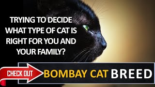 What type of cat is right for you? Check out the  Bombay Cat Breed
