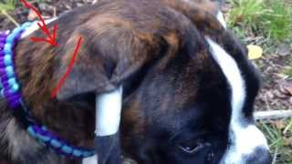 Boxer Nordteams Forza Gets Her Ears Formed Early By Tape & Massage