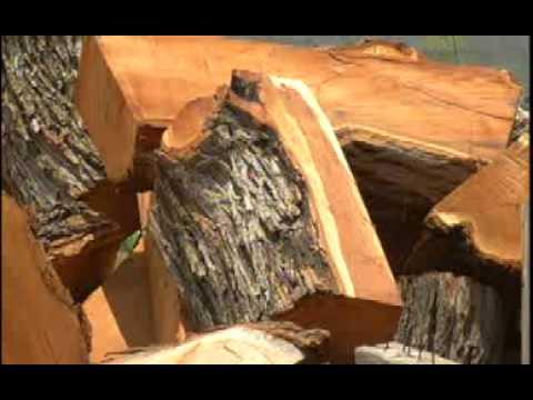 Ven en el mezquite una esperanza de supervivencia  YouTube