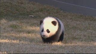 Cute baby panda Bao Bao makes outdoor debut at Washington DC National Zoo