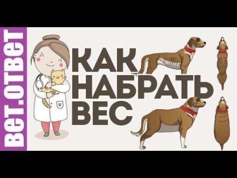 Как набрать вес собаке? Ребенок заразился от собаки. ВетОтвет