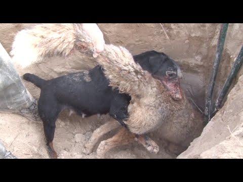 Caza del zorro en madriguera. Adiestramiento y tradici�n
