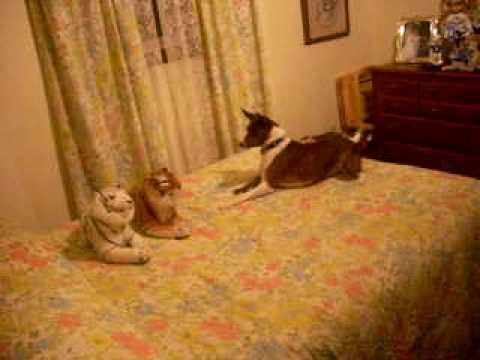 Basenji Dog Attacks Stuffed Tiger