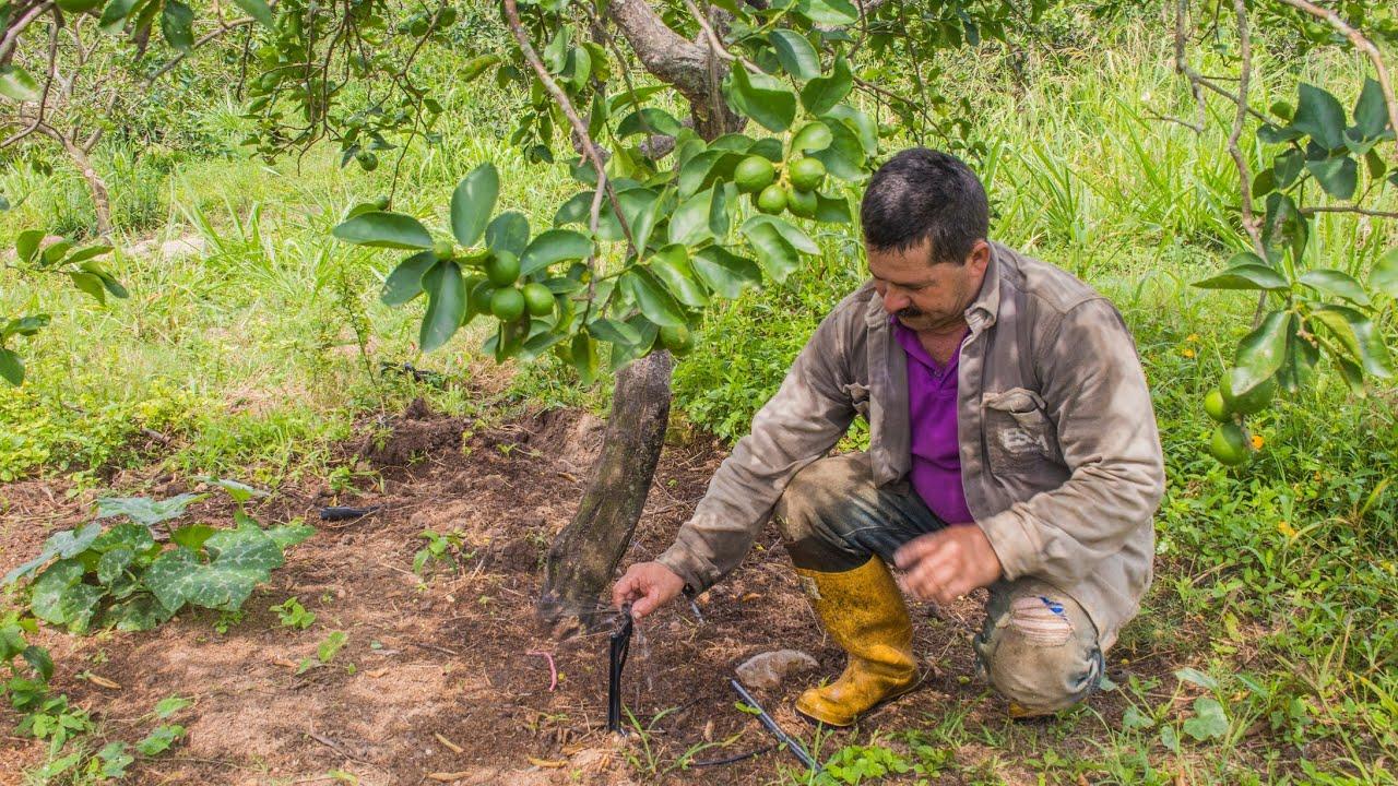 Cultivo de lim n tahit a gran escala tvagro por juan for Viveros en colombia