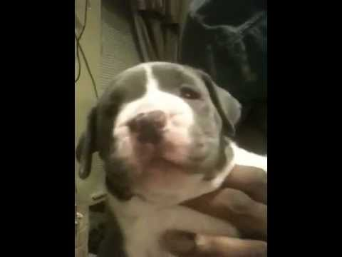 Beastmodekennels pups UKC XXL BLUE Pitbull Puppies for sale 5week old