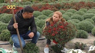 Хризантема мультифлора. 6 соток 09.10.2017