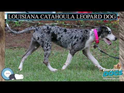 Louisiana Catahoula Leopard Dog 🐶🐾 Everything Dogs 🐾🐶