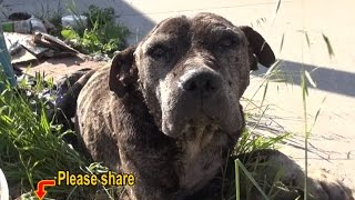 Dennis - a sick, neglected Pit Bull gets abandoned on a bridge and left to die.  Please share.