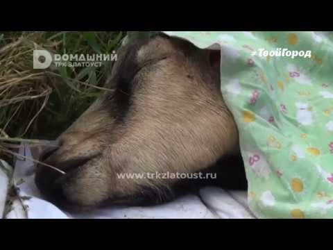 В Златоусте собаки загрызли козу