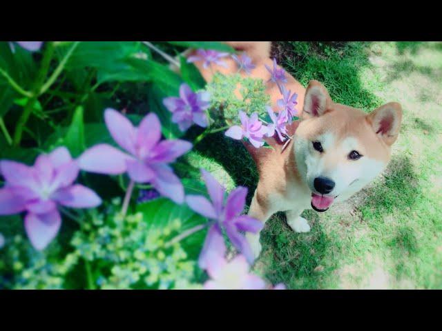 あじさいが綺麗なバラ園でお散歩 Walk in the rose garden with dog and cat