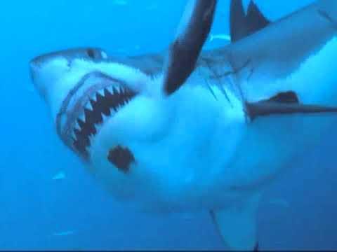 White Shark Dive 2009, Guadalupe Island