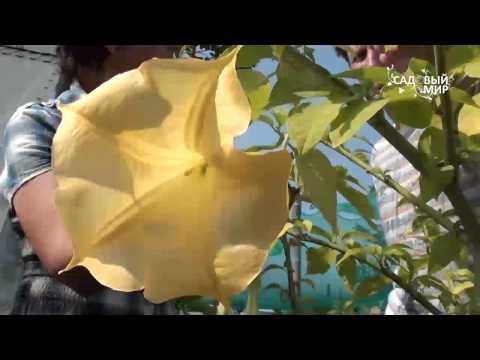 Цветы - огромные колокола! Как вырастить бругмансию дома