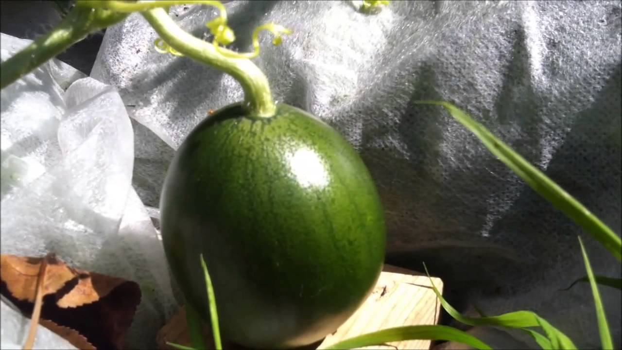 wassermelone im garten anbauen l growing organic watermelons in the garden youtube. Black Bedroom Furniture Sets. Home Design Ideas