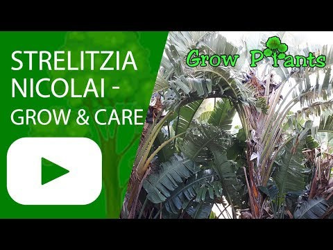 Strelitzia Nicolai - Grow & Care (Bird Of Paradise Plant)