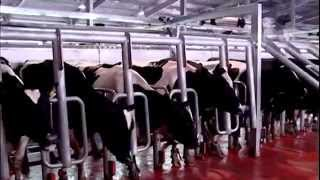 Trang trại bò sữa TH TrueMilk Việt Nam