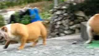 新入りのブルドッグの散歩です。 http://wanboh.net/french-bulldog/
