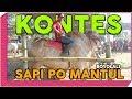KONTES Sapi PO Super Extrem Boyolali Jawa Tengah