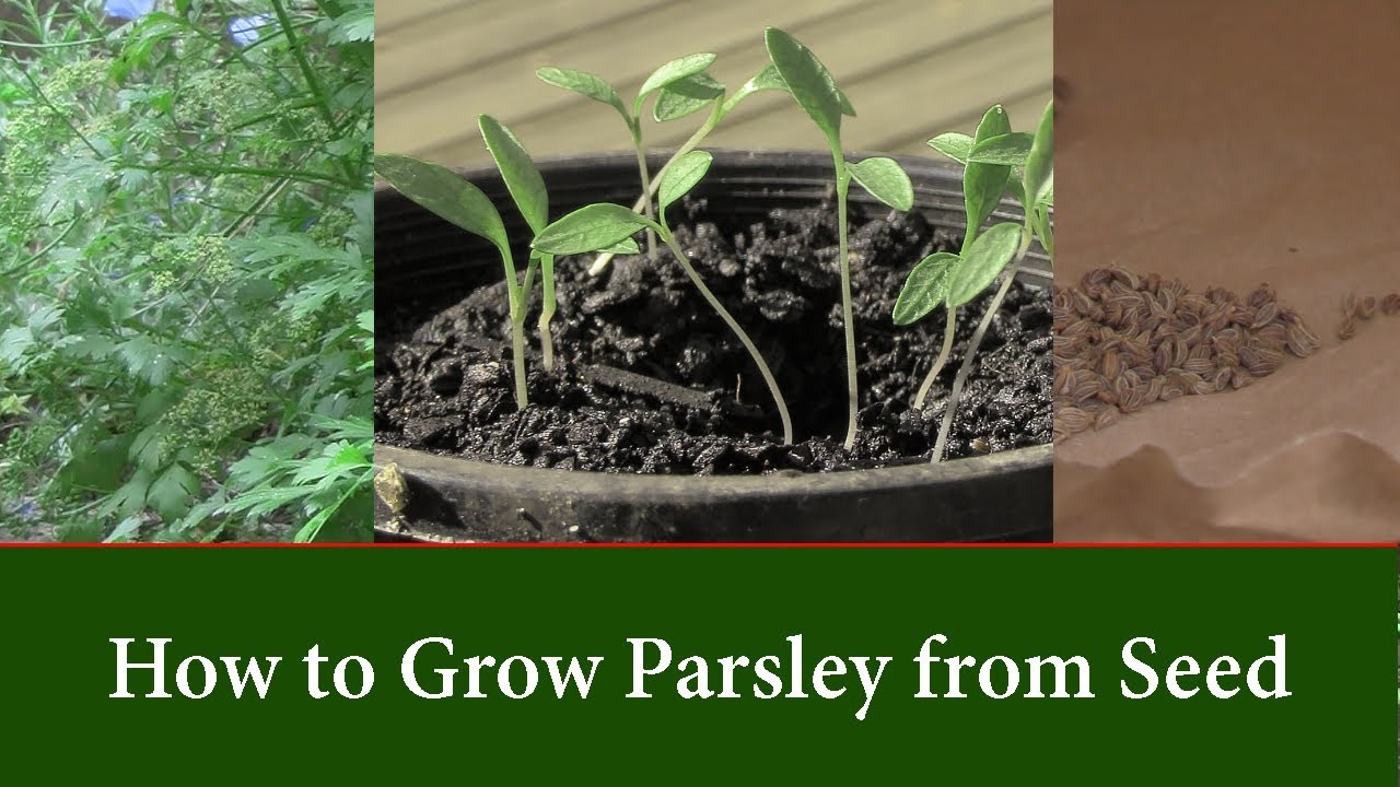 How To Grow Parsley Plants From Seed And Sd Up Germination