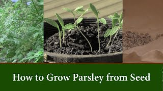 How to Grow Parsley Plants from Seed and How to Speed up Germination.