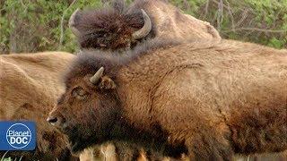 Wild buffalo in Wood Buffalo National Park - Part 3: Buffaloes