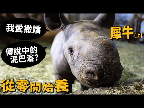 【從零開始養】犀牛(上)!愛撒嬌!寶寶出生過程!為交配搶奪地盤!【許伯簡芝】