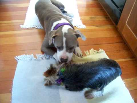 A Yorkie A Pit Bull True Love Youtube
