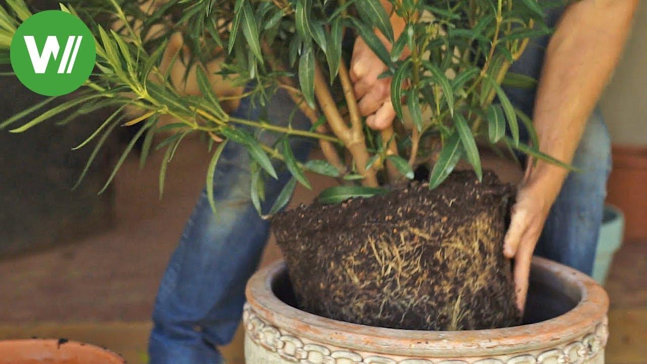 Topfpflanzen Wie Oleander Und