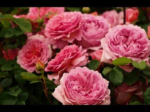 Английские розы Девида Остина. Декоративный сад 10
