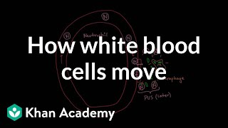 How white blood cells move around