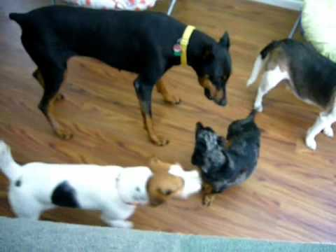"""Everybody Loves Milo! (""""How to outwit a Doberman"""")"""
