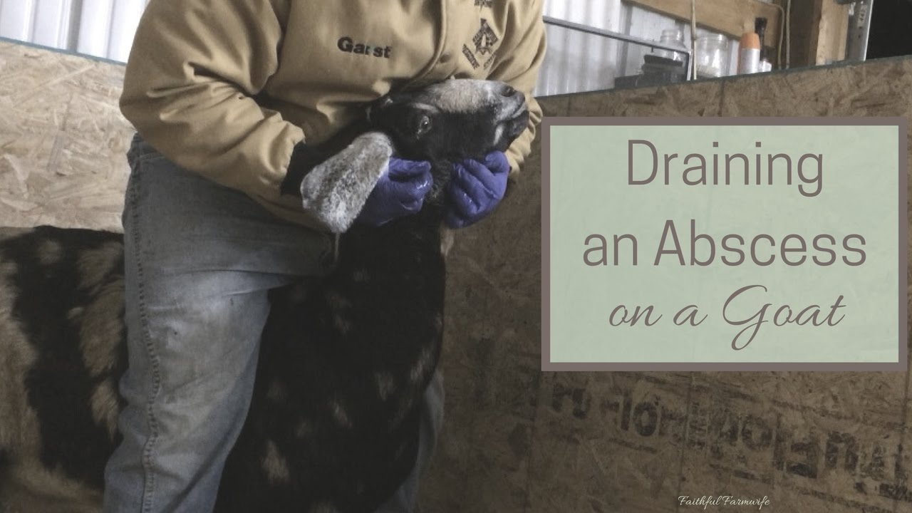 How to Drain an Abscess on a Goat- With Video | Faithful