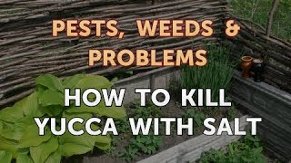 How to Kill Yucca With Salt