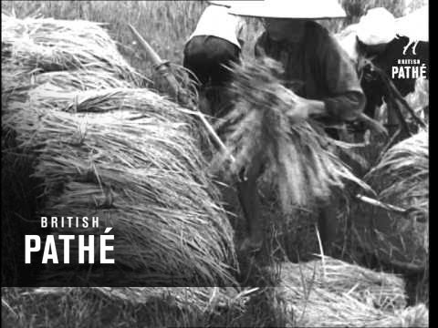 Rice Harvest In Indo-China (1951)
