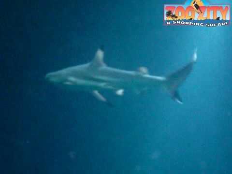 Zoozity Sharks