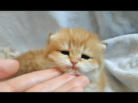 British Shorthair kittens 19 days old