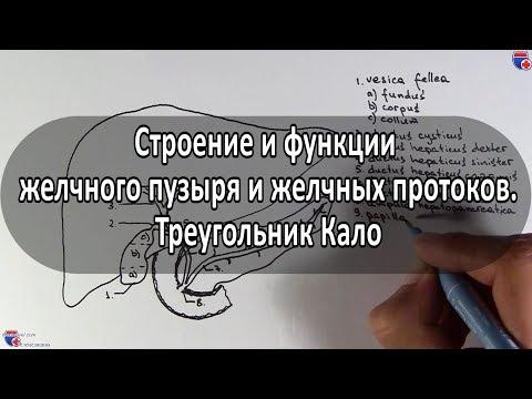 Анатомия желчного пузыря, желчных протоков и треугольника Кало - meduniver.com