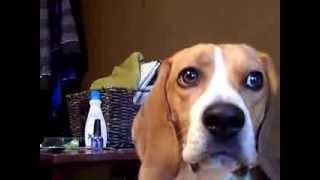 Cute Beagle Howl