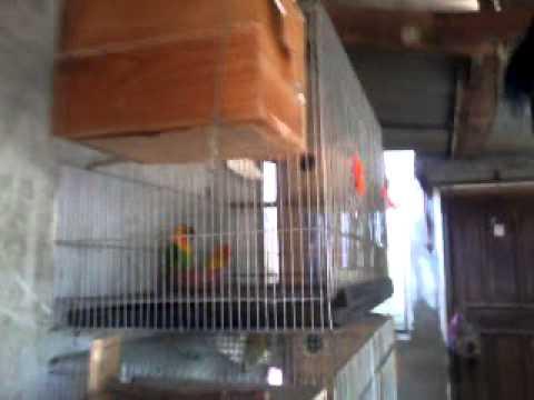african love birds (eyering) for sale