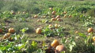Pumpkin Picking at Lewin Farms on East End of Long Island  New York 2011