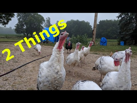 TURKEYS - 2 Things To Consider Before Raising Turkeys!