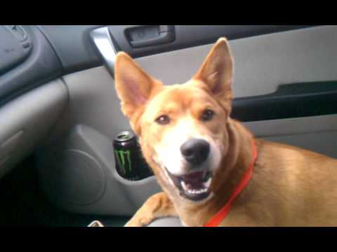 Dog singing Adele Someone like you.