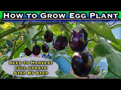 How To Grow Brinjal Plant From Seeds In Containers (with English Subtitle)