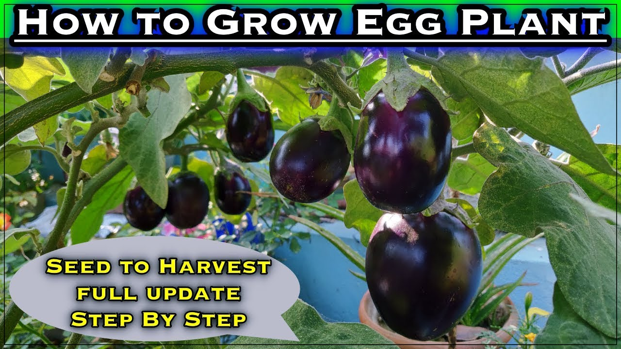 APPLE GREEN  EGGPLANT 10 Seeds