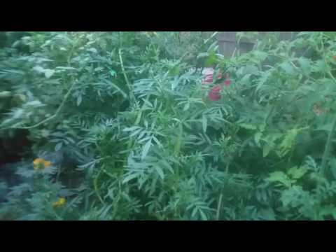 Companion plant marigold giant huge the biggest organic Grown flower I have