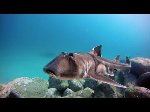 Port-Jackson shark egg transport by Crested Horn Shark
