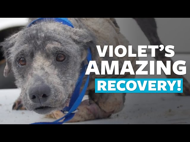 Violet s Amazing Recovery