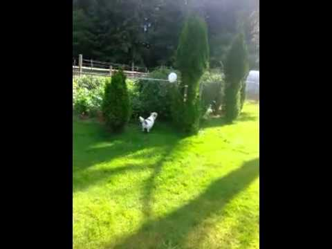 Jack Russell Terrier loves to play and pop balloons