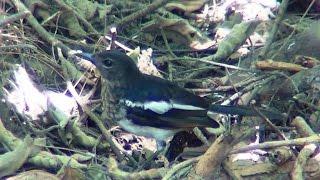 Oriental Magpie Robin.