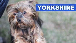 Yorkshire Terrier - Quatro Patas